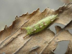 越冬前幼虫