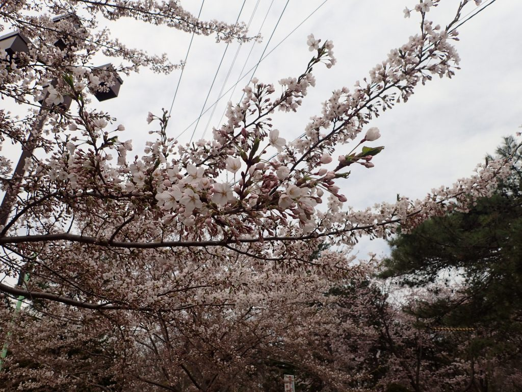 2018年4月30日サクラの開花状況3