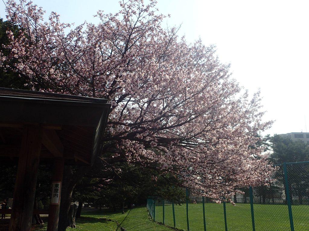 2018年4月28日サクラの開花状況3
