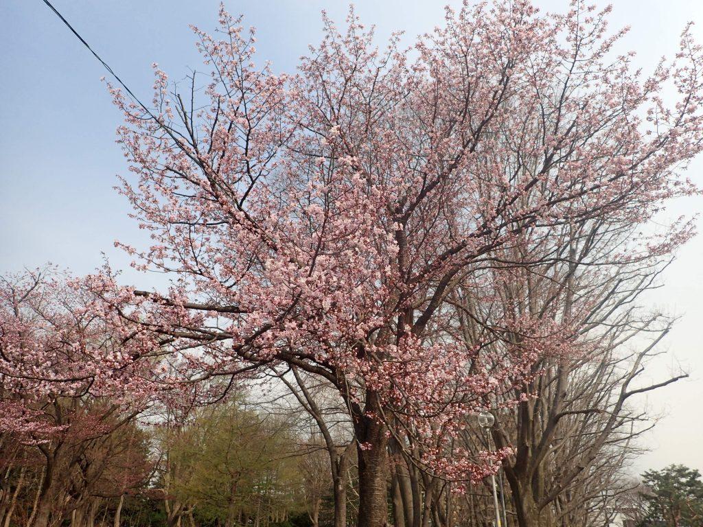 2018年4月28日サクラの開花状況2