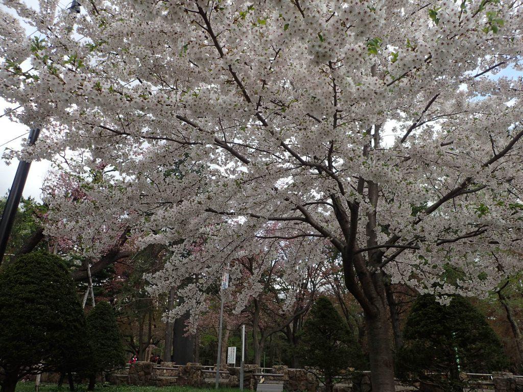 年5月4日サクラの開花状況3