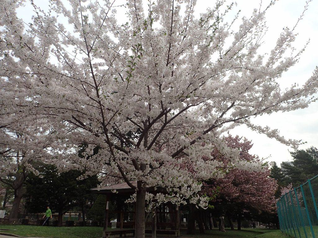 2018年5月2日サクラの開花状況3