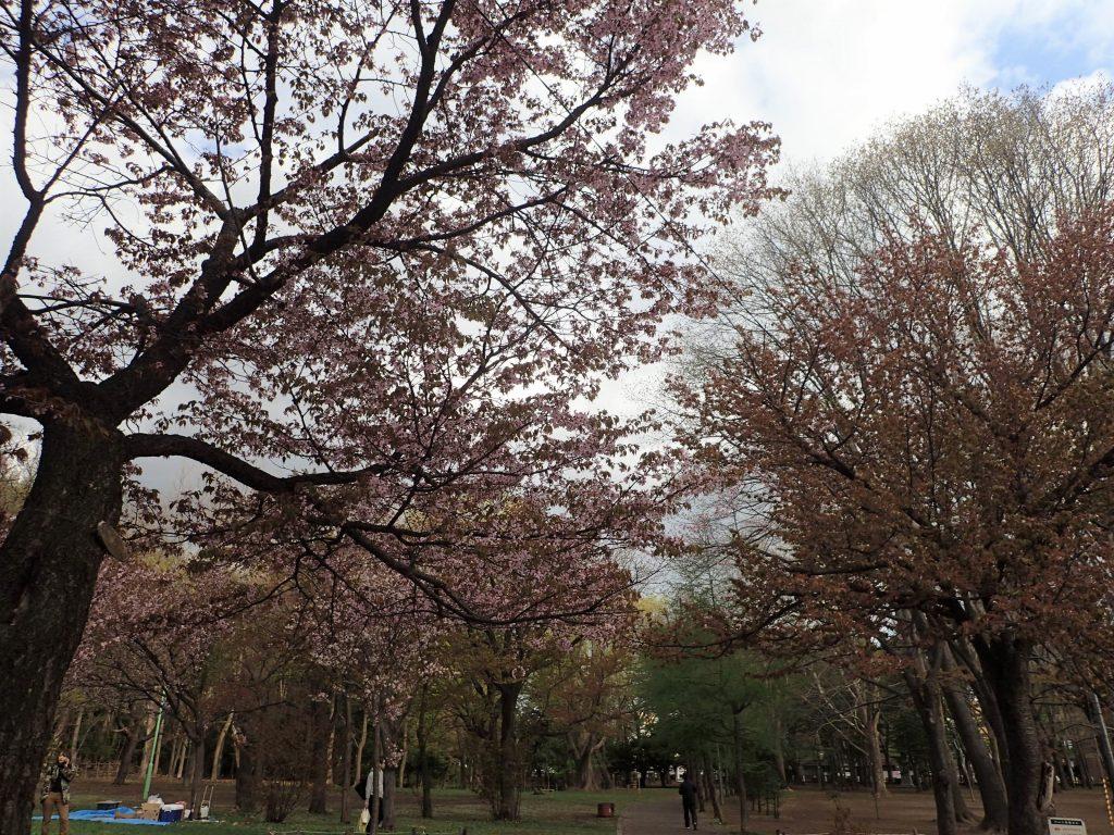 年5月4日サクラの開花状況1