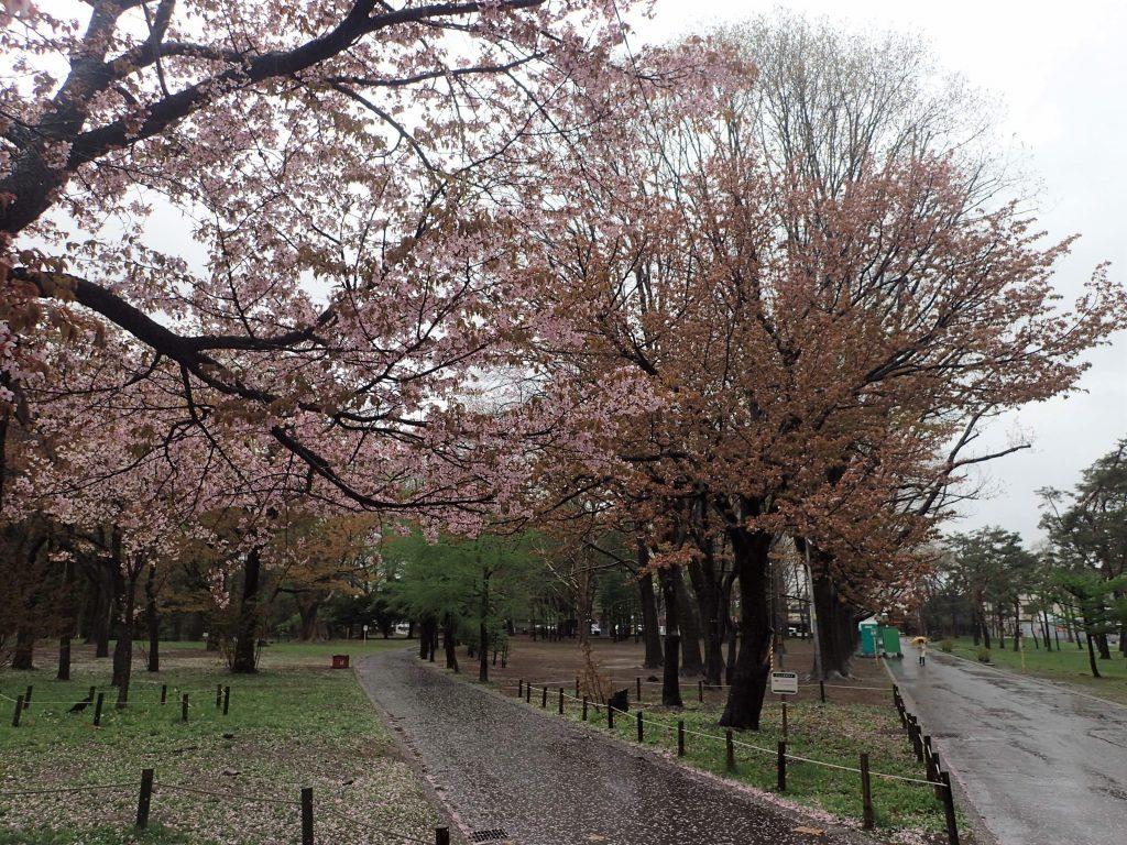 年5月3日サクラの開花状況1