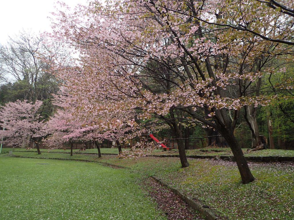 年5月3日サクラの開花状況2