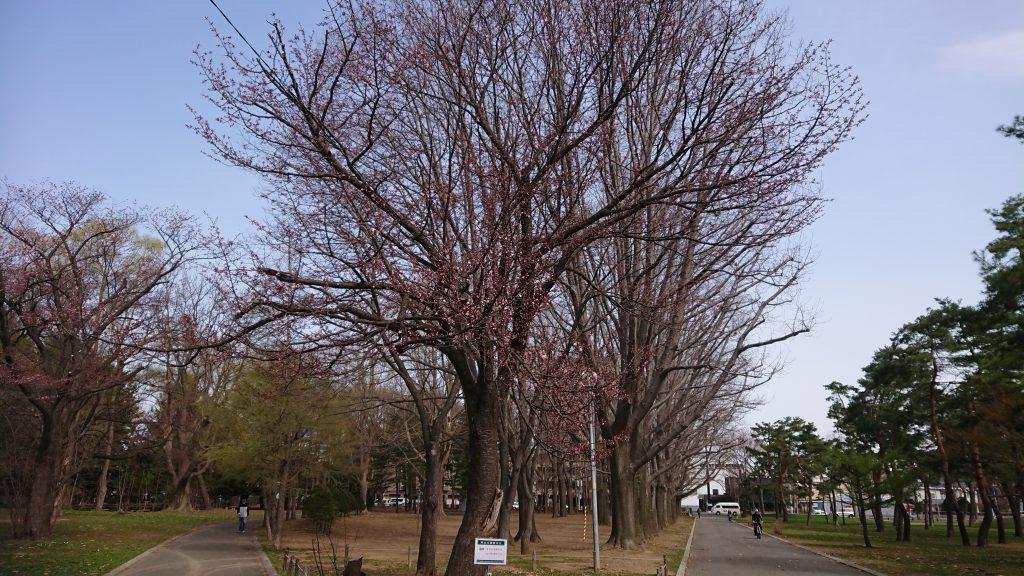 2019年4月24日サクラの開花状況1