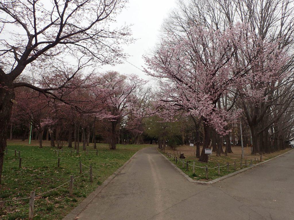 2019年4月26日サクラの開花状況1
