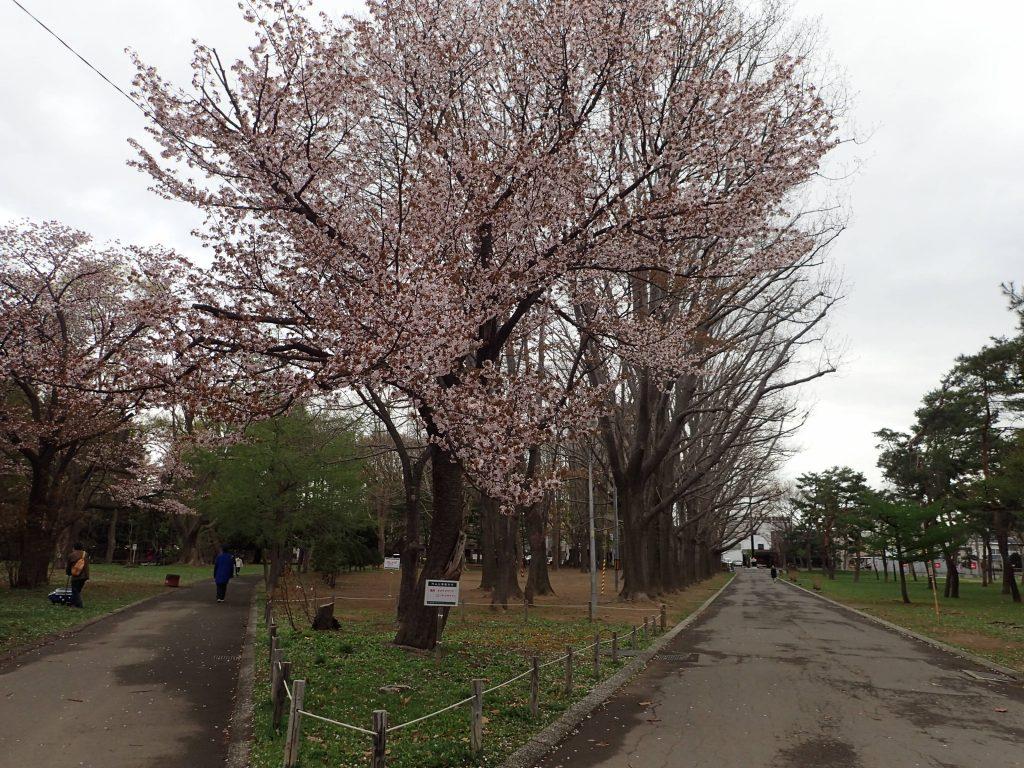 2019年5月1日サクラの開花状況1