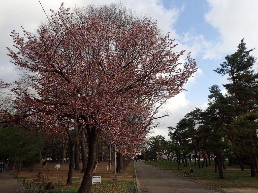 2019年5月2日サクラの開花状況1