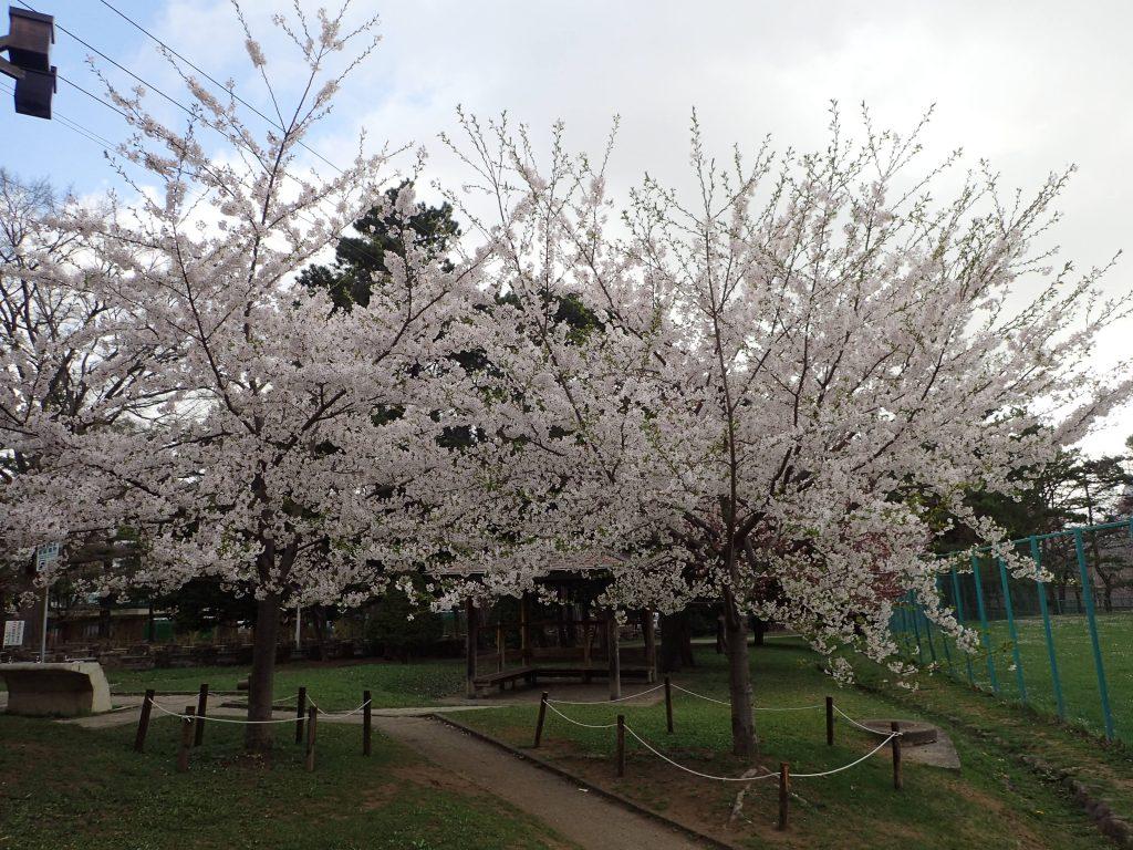 2019年5月2日サクラの開花状況4