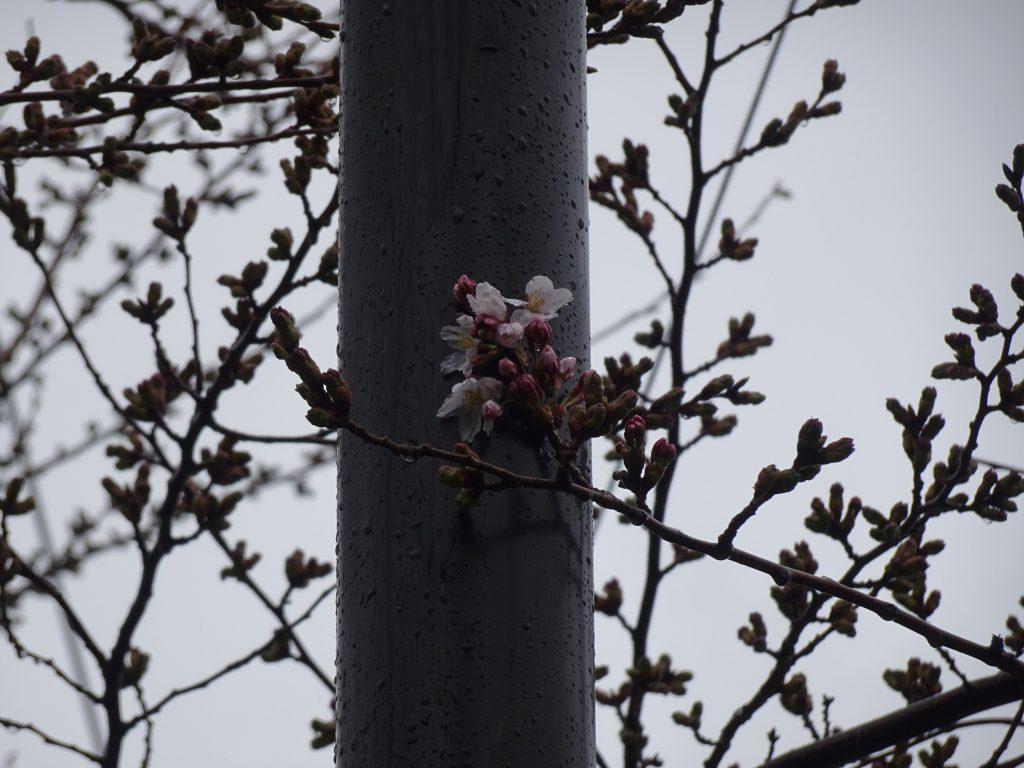 2021年4月18日サクラの開花状況3