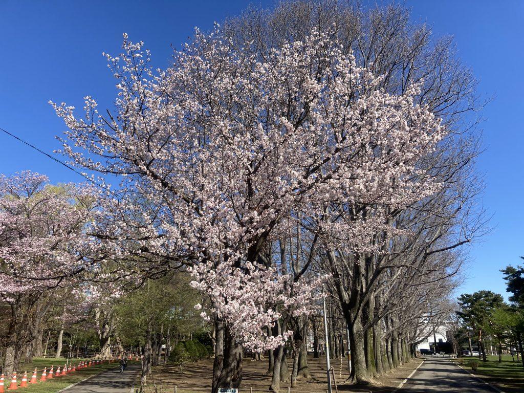 2021年4月26日サクラの開花状況1