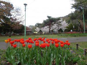 2021年5月6日園内の様子1チューリップ花壇