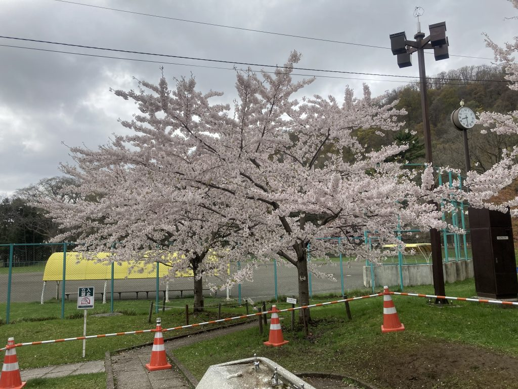 2021年5月4日サクラの開花状況4