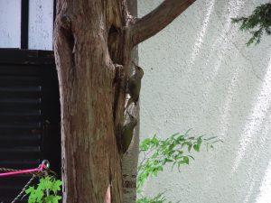2021年7月24日園内の様子5ヤマゲラ